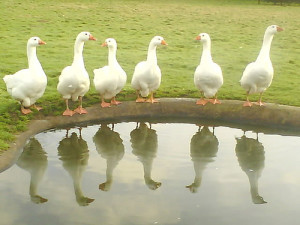 6 geese